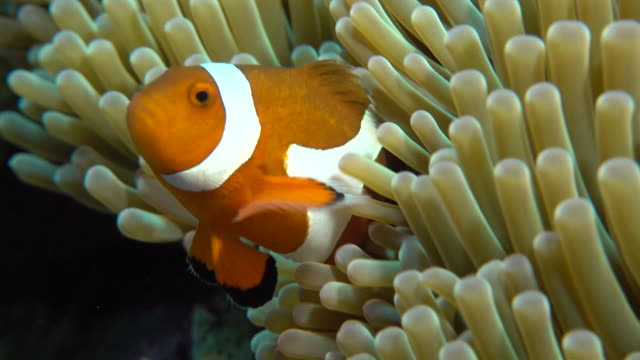 Underwater footage in the Kerama Islands; Close-up shot of a common clownfish (Amphiprion ocellaris) darting in and out of a sea anemone, Okinawa, Japan