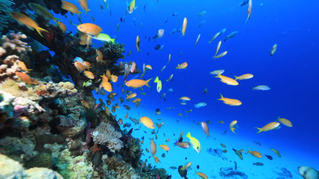 Underwater footage in the Kerama Islands; Coral reefs and numerous colorful fish, Okinawa, Japan