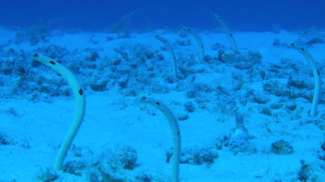 Underwater footage in the Kerama Islands; Four spotted garden eels (Heteroconger hassi) swaying in the sea off the Kerama Islands, Okinawa, Japan