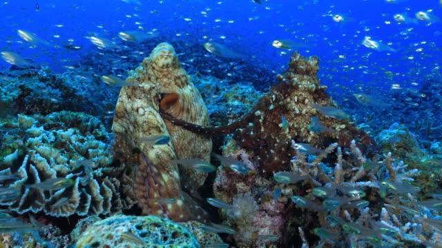 underwater footage in the kerama islands; octopi mating in the sea off the kerama islands, okinawa, japan - pacific ocean stock videos & royalty-free footage