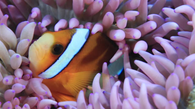 vídeos de stock e filmes b-roll de underwater footage in the kerama islands; two common clownfish (amphiprion ocellaris) concealing themselves in a sea anemone in the sea off the kerama islands, okinawa, japan - amphiprion percula