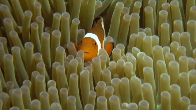 Underwater footage in the Kerama Islands; Up shot of a common clownfish (Amphiprion ocellaris) darting in and out of a sea anemone in the sea off the Kerama Islands, Okinawa, Japan