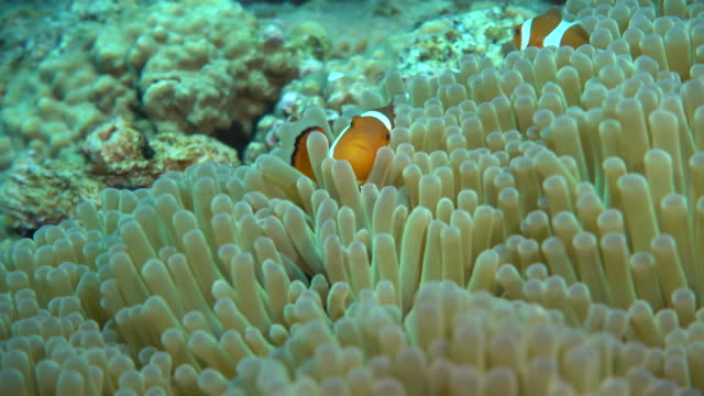 stockvideo's en b-roll-footage met underwater footage in the kerama islands; up shot of a common clownfish (amphiprion ocellaris) darting in and out of a sea anemone in the sea off the kerama islands, okinawa, japan - clownvis