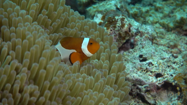 Underwater footage in the Kerama Islands; Up shot of two common clownfish (Amphiprion ocellaris) darting in and out of a sea anemone in the sea off the Kerama Islands, Okinawa, Japan