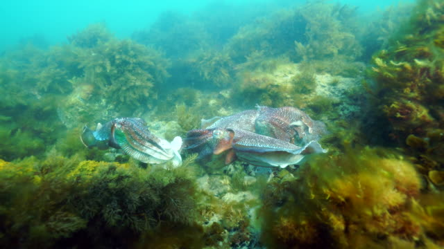 Underwater footage of a pair of Australian giant cuttlefish disturbed while mating by two other males, Whyalla, South Australia.
