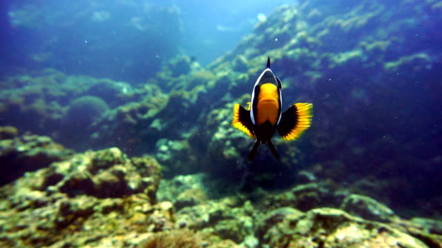 Underwater footage of Clarkes Anemonefish (Amphiprion clarkii) Clownfish