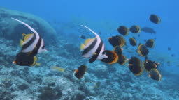 Underwater footage of Dusky butterfly fish on the reef with Banner fish in Pacific ocean. POV during snorkelling or diving on Great barrier Reef. SLOW MOTION, RED Camera.