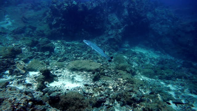 Underwater footage of Great Barracuda (Sphyraena) on coral reef