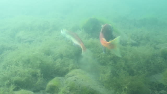 underwater footage of lake shikotsu - spawning stock videos and b-roll footage