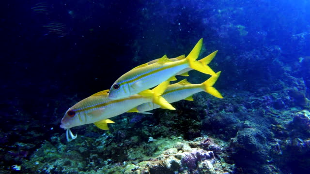 underwater footage of wild goldstripe goatfish (mulloidichthys vanicolensis) on coral reef - 20 seconds or greater stock videos & royalty-free footage