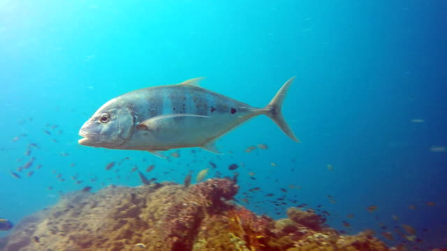 Underwater footage of wild Yellowtail Trevally Scad (Alectis ciliaris) on coral reef