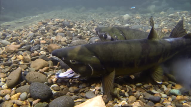 underwater footage:chum salmon (oncorhynchus keta) spawning in a tributary of the shibetsu river,hokkaido,japan - spawning stock videos and b-roll footage