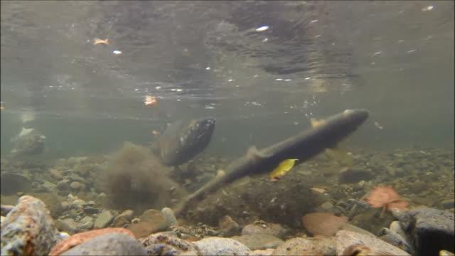 underwater footage:female chum salmon (oncorhynchus keta) preparing to spawn,hokkaido,japan - spawning stock videos and b-roll footage
