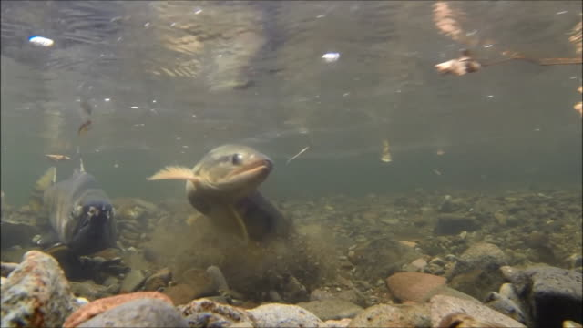 underwater footage:male and female chum salmon (oncorhynchus keta) preparing to spawn,hokkaido,japan - riverbed stock videos & royalty-free footage
