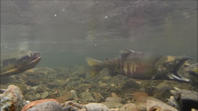 vídeos y material grabado en eventos de stock de underwater footage:male chum salmon (oncorhynchus keta) biting the tail of another male chum salmon,hokkaido,japan - salmón animal