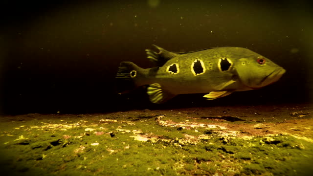 Underwater freshwater Bass swimming in Rio Negro Venezuela