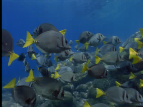 underwater pan from school of yellow tailed fish to female scuba diver - oxygen tank stock videos and b-roll footage