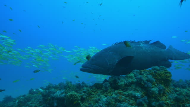Underwater PAN from shoal of Yellow Goatfish to Goliath grouper floating over reef