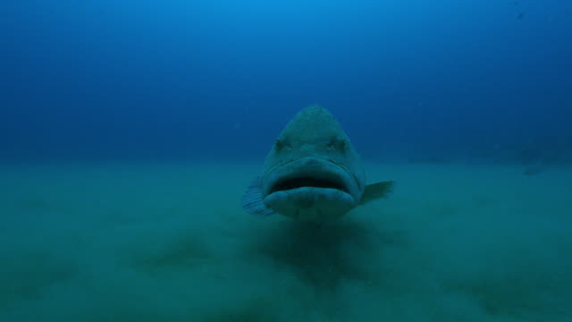 underwater frontal ms into cu potato cod floating over seabed - grouper stock videos & royalty-free footage