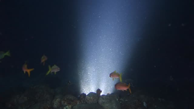 vidéos et rushes de underwater: giant manta ray circling among other fish over light on seabed - autre thème