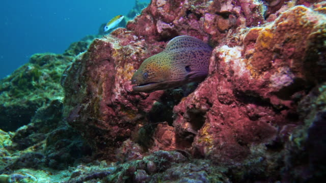 underwater giant moray eel (gymnothorax javanicus) in coral reef - moray eel stock videos & royalty-free footage
