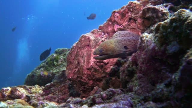 水中巨大ウツボ ウナギ (gymnothorax の波状 javanicus) サンゴ礁で - クラビ県点の映像素材/bロール