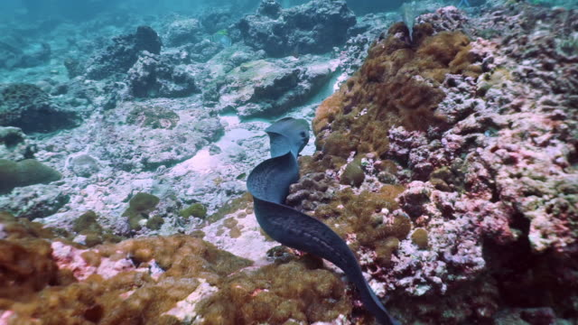 underwater giant moray eel (gymnothorax javanicus) swimming on coral reef - moray eel stock videos and b-roll footage