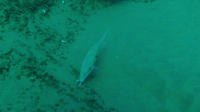 Underwater MS Goatfish hunting by probing seabed with its barbels