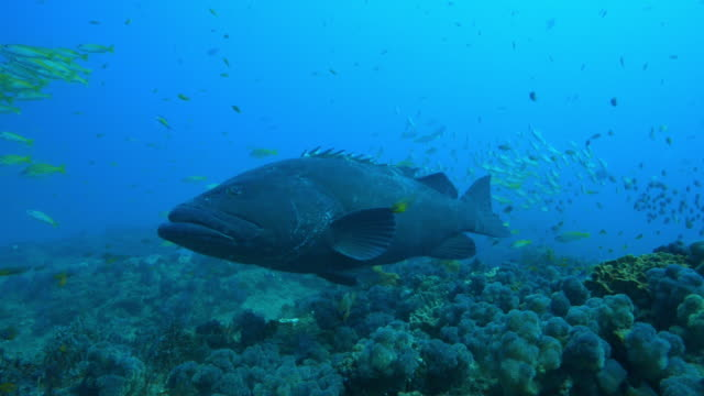 Underwater Goliath grouper floats over reef with shoal of Yellow Goatfish in background