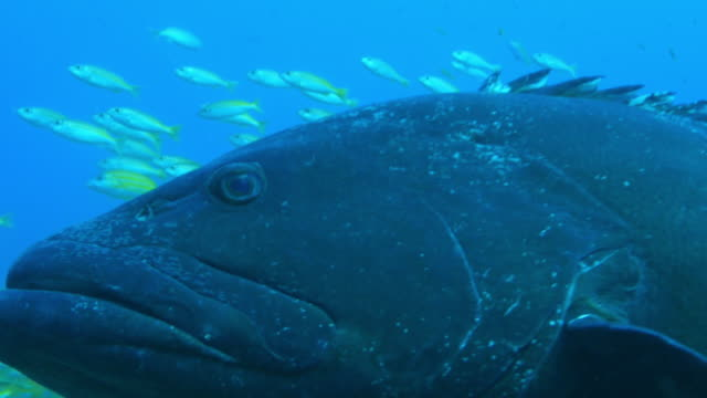Underwater ECU Goliath grouper surrounded by smaller reef fish