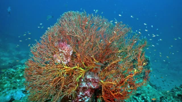 underwater gorgonian sea fan (melithaea ochracea) coral a carbon capture system - gorgonian coral stock videos & royalty-free footage