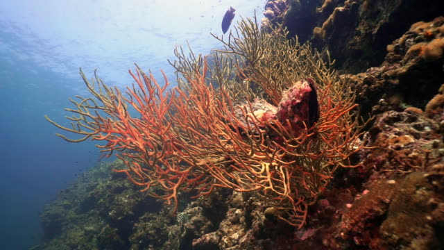 underwater gorgonian sea fan coral reef a carbon capture system - gorgonian coral stock videos & royalty-free footage