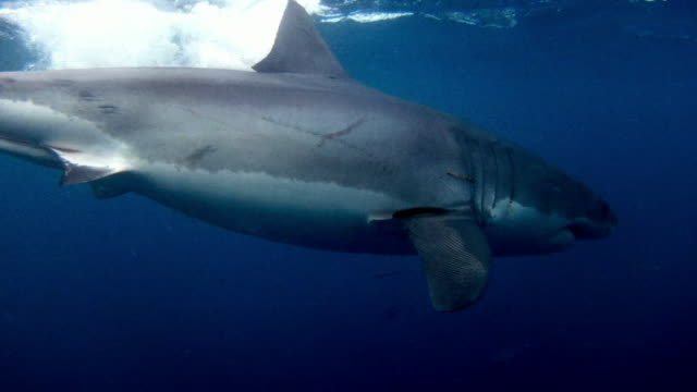 """underwater great white shark swimming among fish - """"bbc universal"""" stock videos & royalty-free footage"""