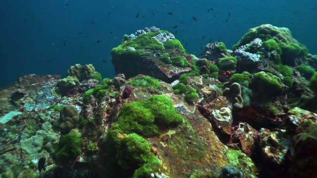underwater green algae bloom growing on coral reef, hin daeng, thailand - ecosystem stock videos & royalty-free footage