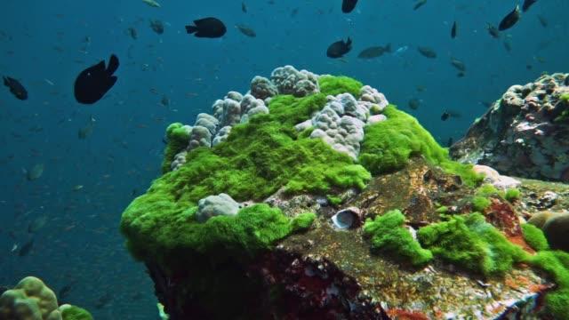 underwater green algae bloom growing on coral reef, hin daeng, thailand - alga verde video stock e b–roll
