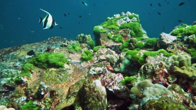 underwater green algal bloom growing on coral reef, hin muang, thailand - moorish idol stock videos and b-roll footage