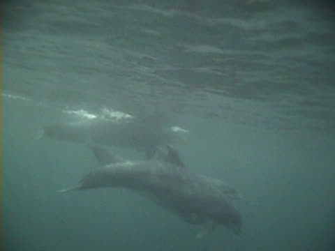 Underwater group of Bottlenose dolphins swimming close to surface