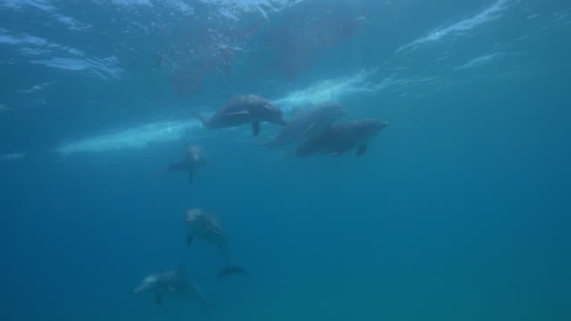 Underwater group of Bottlenosed Dolphin swimming to camera near surface with reflection