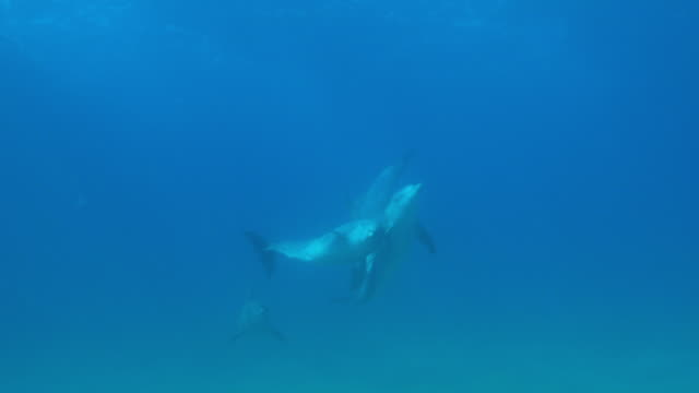 underwater group of bottlenosed dolphins play and swim to surface to breathe - クジラ目点の映像素材/bロール