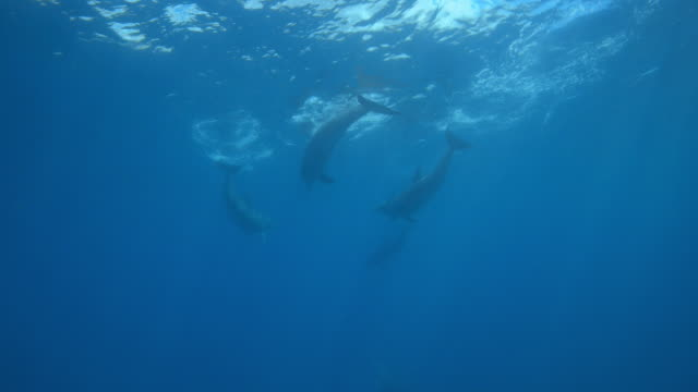 underwater group of bottlenosed dolphins play just under surface - cetacea stock videos & royalty-free footage