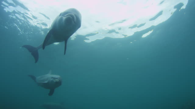Underwater LA group of Bottlenosed Dolphins swim over camera