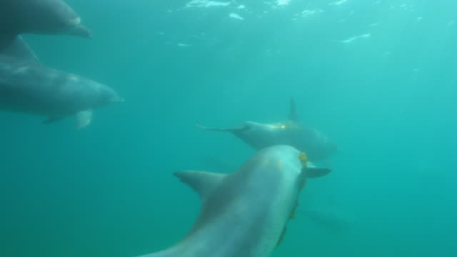 underwater group of bottlenosed dolphins swim over with one carrying seaweed - 海草点の映像素材/bロール