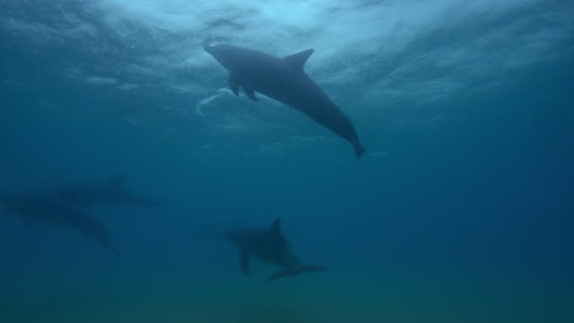 underwater group of bottlenosed dolphins swimming under rainy surface then synchronised dive in surf - bottle nosed dolphin stock videos & royalty-free footage