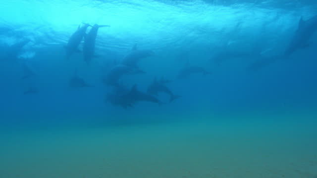 Underwater group of Bottlenosed dolphins synchronised dive in surf