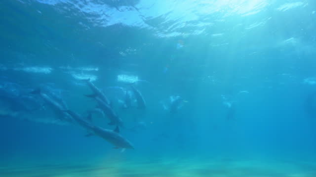 vidéos et rushes de underwater group of bottlenosed dolphins synchronised dive in surf  - grand dauphin
