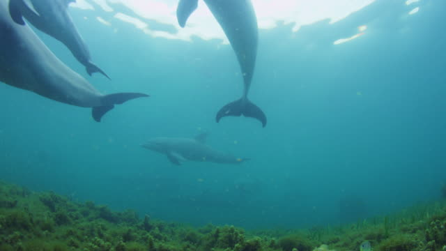 underwater la group of bottlenosed dolphins with young calf swim over camera above seagrass - reed grass family stock videos & royalty-free footage