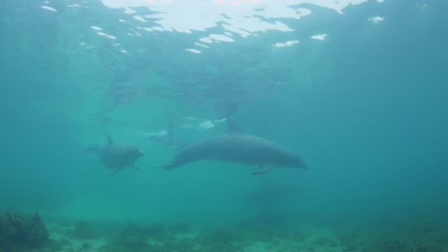 Underwater group of Bottlenosed Dolphins with young calf swimming to camera below surface