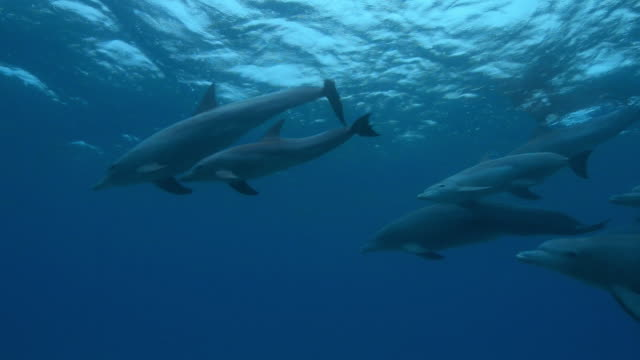 Underwater group of Bottlenosed dolphins with young calf swimming under rainy surface then synchronised dive