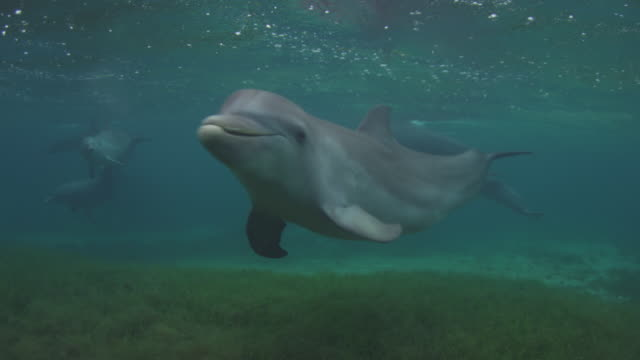 Underwater group of Bottlenosed Dolphins with young calf swimming over seagrass