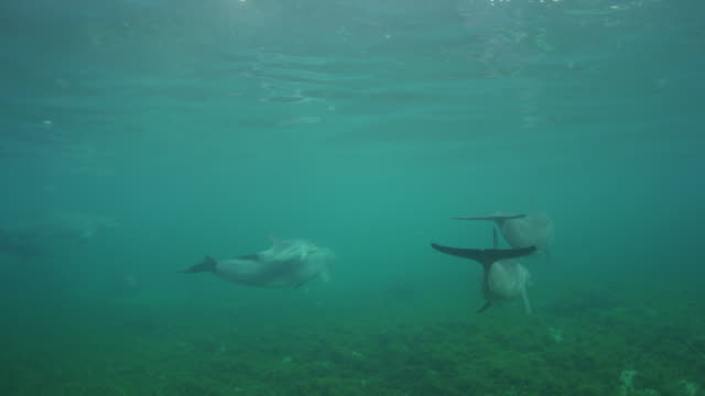 Underwater group of Bottlenosed Dolphins with young calf swimming from camera below surface